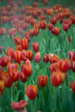 Tulip Garden rouge Photos stock