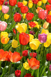 Tulip Garden in Spring Royalty Free Stock Images
