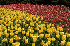 Tulip garden in springtime. Red and yellow tulip garden in springtime Royalty Free Stock Photography