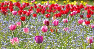 Tulip Garden In Springtime stock footage