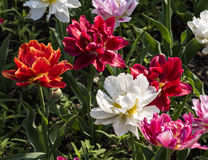 Tulip garden. In a sunny day Stock Image