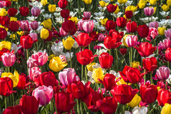 Tulip garden. In a sunny day Royalty Free Stock Images