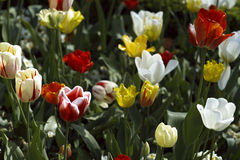 Tulip garden. Tulips symbolizing love for mothers day Royalty Free Stock Images