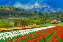 Tulip garden in the valley of Kashmir Stock Photos