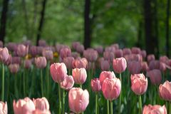 White and pink tulips in a flower bed on a background of trees royalty free stock image