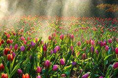 Tulip garden with water springer stock photography