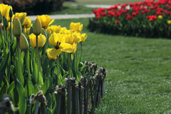 The tulip garden Stock Photography