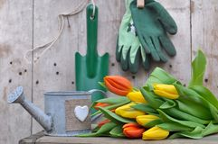 Tulip with gardening tools Stock Image