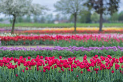 Tulip Gardens Royalty Free Stock Photography