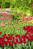 Tulip gardens, Keukenhof, NL Royalty Free Stock Photography