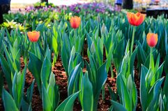 Tulip. In the gardent Stock Photography