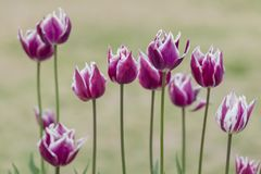 Tulip Gavota on a sophisticated background. Tulip Gavota, has deep maroon color beautifully edged with shades of creamy yellow Royalty Free Stock Photos