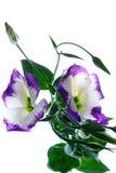Tulip Gentian (Eustoma) Stock Image