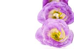 Tulip Gentian (Eustoma) Stock Photography