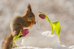 Tulip glance. Profile and close up of red squirrel standing on snow behide a red tulip and icicles looking away Stock Photography