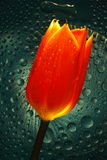 Tulip Glow. Orange tulip on wavy clear glass with water drops Stock Photography