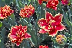 Tulip Gold Dust Tulipa, Liliaceae au printemps photo libre de droits