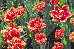 Tulip Gold Dust Tulipa, Liliaceae au printemps photographie stock libre de droits