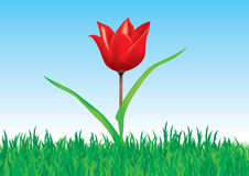 Tulip in grass. Tulip flower in grass over blue sky Royalty Free Stock Photos