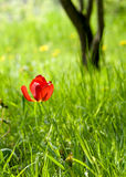 Tulip in grass. With tree thunk in background Royalty Free Stock Images