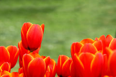 Tulip and grass royalty free stock image