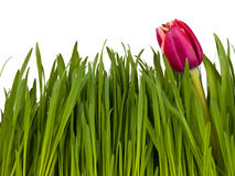 Tulip in the grass isolated on white background Stock Image