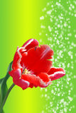 Tulip on green background Stock Photo