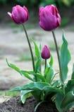 Tulip. Group of purple tulip flowers Royalty Free Stock Photo