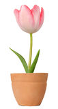 Tulip growing in a flower pot Stock Image
