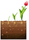 Tulip growing from underground Stock Photography