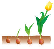 Tulip growth. Illustration of tulip growth stages Stock Image