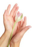 Tulip in hands Stock Photo
