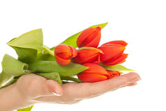 Tulip in hands Royalty Free Stock Photo