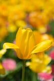 Tulip Heaven Lizenzfreies Stockbild