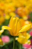 Tulip Heaven Royalty Free Stock Image