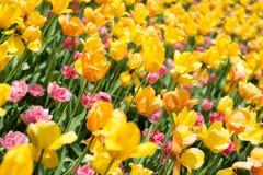 Tulip Heaven Stock Image