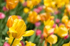 Tulip Heaven Royalty Free Stock Images