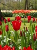 Tulip in holland. Tulips in holland in keukenhof Royalty Free Stock Image
