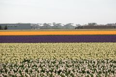 Tulip and hyacinth  fields of the Bollenstreek, South Holland Stock Image