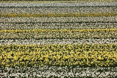 Tulip and hyacinth  fields of the Bollenstreek, South Holland, Stock Photos