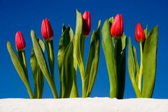 Free Tulip In The Snow Royalty Free Stock Photography - 3793187