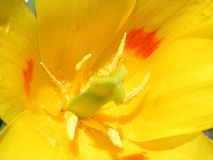 Tulip inside Stock Photography