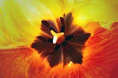 Tulip Royalty Free Stock Photo