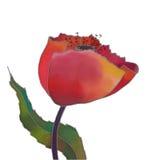Tulip isolated stock photo