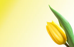 Tulip isolated. Yellow tulip isolated. Empty space to your text! Version 3 stock photos