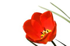 Tulip isolated Stock Photography