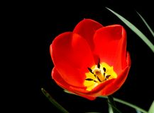 Tulip isolated on black. Red tulip isolated on a black background royalty free stock photography