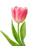 Tulip isolated [clipping path] Royalty Free Stock Photo