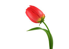 Tulip isolated HQ render Stock Photography
