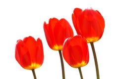 Tulip isolated on white Royalty Free Stock Photo